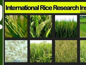 Udsigt til endnu en ris-revolution til <br>at ernære verdens sultne, siger forsker ved <br>Internationalt Institut for Forskning i Ris
