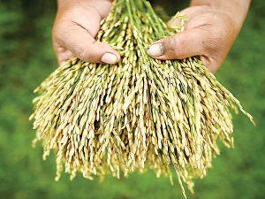 Bayer-Monsanto overtagelse markerer slutfasen af den 'grønne', <br>folkemorderiske floks kontrol over fødevare-patentrettigheder, <br>videnskab og meningsdannelse