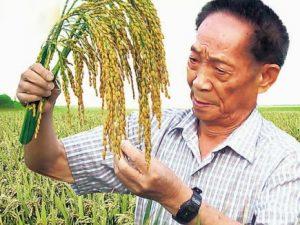 Kinas nye salttolerante ris eller Saltris snart klar til kommerciel handel; <br>Kan øge fødevarer til 200 mio. mennesker